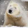 Berliner Zoo - Eisbär Knut im Winter