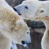 Berliner Zoo - Eisbär Knut zusammen mit Giovanna
