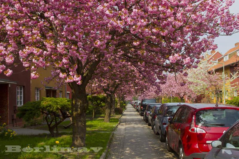 Britzer Baumblüte