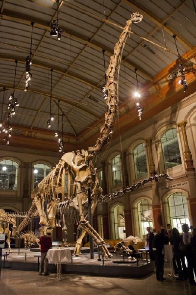 Brachiosaurus brancai ist mit 13,27 Metern das größte montierte Dinosaurierskelett
