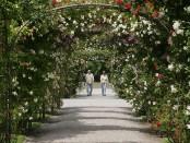 Blühende Rosen im Britzer Garten