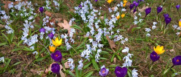 Frühling in Berlin - Frühblüher in einem Park