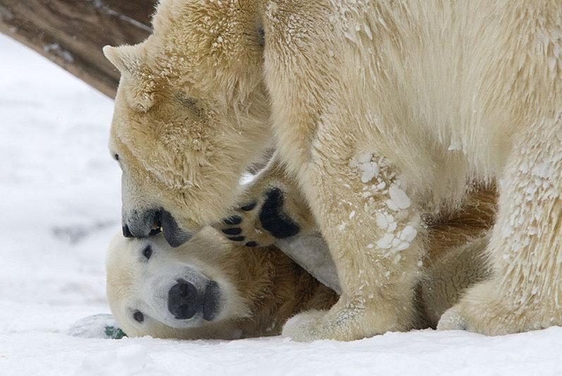 Berliner Zoo - Eisbär Knutzusammen mit Giovanna