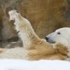 Berliner Zoo - Eisbär Knut