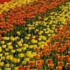 Tulipan Tulpenschau in Berlin
