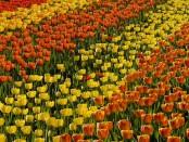 TULIPAN die Tulpenschau im Britzer Garten
