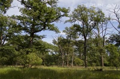 Mischwald im Spandauer Forst