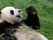 Panda - Foto: Shutterstock