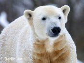 Eisbär Knut im Winter